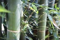 绿色竹树森林 库存照片