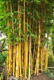黄色竹树 库存图片