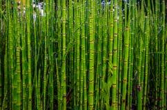 绿色竹纹理本质上,史特拉斯堡 免版税库存图片