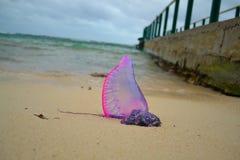 紫色管水母目动物 免版税图库摄影