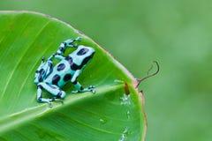 黑色箭青蛙绿色毒物 库存照片