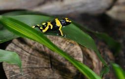黑&黄色箭青蛙2 免版税图库摄影