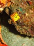 黄色箱子鱼 免版税库存照片