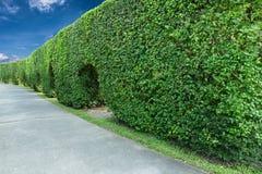 绿色篱芭和水泥走道 免版税库存照片