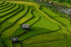 绿色米在露台调遣在Muchangchai,越南米领域 免版税库存图片
