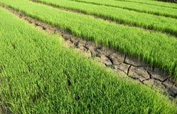 绿色米幼木和旱田是裂口 图库摄影