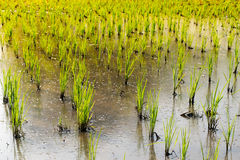 绿色米树苗在玉米田-农业在泰国 图库摄影
