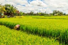 绿色米领域和传统圆锥形帽子的收集米在稻田的房子和一名妇女, Umalas,巴厘岛,印度尼西亚 图库摄影