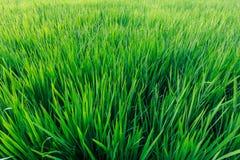 绿色米领域在阳光下 免版税图库摄影