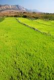 绿色米领域在马达加斯加的伊萨卢国家公园 免版税库存照片