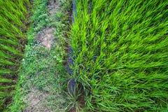 绿色米领域季节 免版税图库摄影
