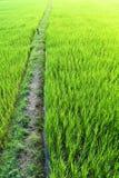 绿色米领域季节 免版税库存图片