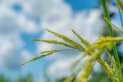 绿色米领域有自然和蓝天背景 免版税图库摄影