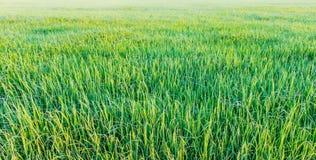 绿色米 免版税库存照片