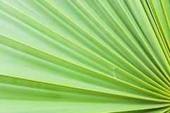绿色糖棕榈叶 免版税库存图片