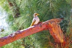 黄色红喉刺莺的矿工坐树,西澳州 免版税库存图片