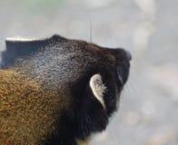 黄色红喉刺莺的貂头 免版税库存照片
