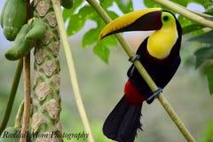 黄色红喉刺莺的Toucan 免版税库存照片