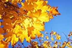 黄色红色五颜六色的秋天槭树叶子 库存图片