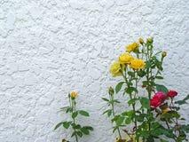 黄色红色桃红色玫瑰在白色背景中 图库摄影