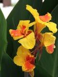 黄色红色热带花 免版税图库摄影