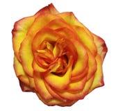 黄色红色玫瑰花,白色隔绝了与裁减路线的背景 库存图片