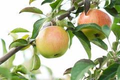 绿色红色生物自然苹果 库存图片