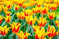 黄色红色郁金香在一个晴天 库存照片