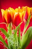 黄色红色郁金香花束  免版税库存照片