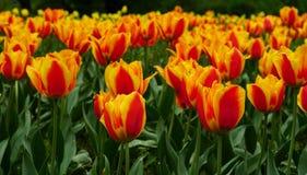 黄色红色郁金香许多行  免版税库存照片