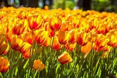 黄色红色郁金香领域 库存照片