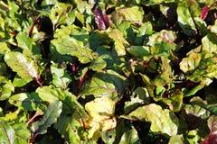 绿色红顶(叶子)根菜类甜菜在庭院里在英国庭院里 库存图片