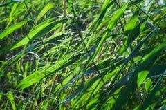绿色纸莎草离开在阳光下 图库摄影