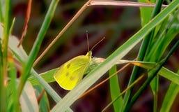 黄色纹白蝶 库存图片