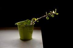 绿色罐的多汁植物在黑暗的背景 库存照片
