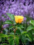 黄色罗斯和淡紫色 免版税库存照片