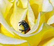 黄色罗斯和跳跃的蜘蛛 库存图片