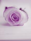 紫色罗斯背景-花储蓄照片 免版税库存照片