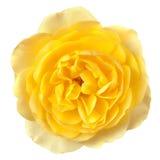 黄色罗斯隔绝了 免版税库存照片