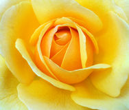 黄色罗斯 库存图片