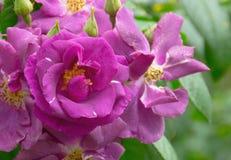 年轻紫色罗斯 免版税图库摄影