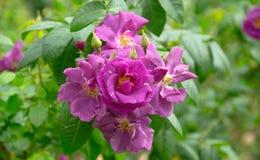 年轻紫色罗斯 库存照片