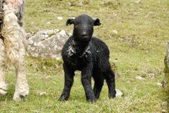 黑色羊羔 免版税图库摄影