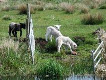 黑色羊羔 免版税库存图片