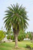 绿色美丽的棕榈树 库存照片
