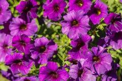 紫色美丽的花 免版税图库摄影
