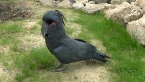 黑色美冠鹦鹉 影视素材
