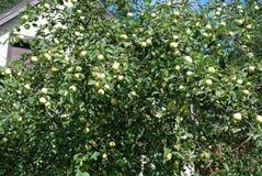 绿色美味苹果在一棵树增长在庭院里 图库摄影