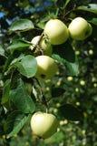 绿色美味苹果在一棵树增长在庭院里 免版税库存图片