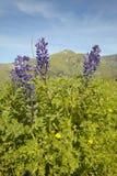 紫色羽扇豆和绿草在菲格罗亚山春天小山在圣塔内斯和Los Olivos,加州附近 免版税库存照片